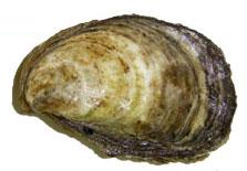 Aquaculture Oysters