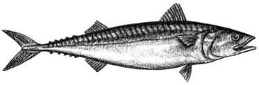 Atlantic Mackerel: Scomber scombrus
