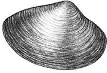 Atlantic Surf Clam: Spisula solidissima