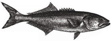 Bluefish: Pomatomas saltatrix