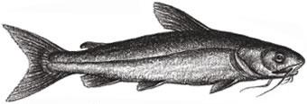 Channel Catfish: Ictalurus punctalus