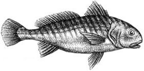 Croaker: Micropogonias undulatus