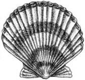 Sea Scallop: Placopecten magellanicus