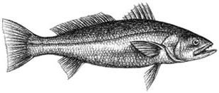 Sea Trout (grey): Cynoscion regalis