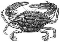 Soft Shell Crab: Callinectes sapidus