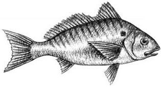 Spot: Leiostomus xanthurus