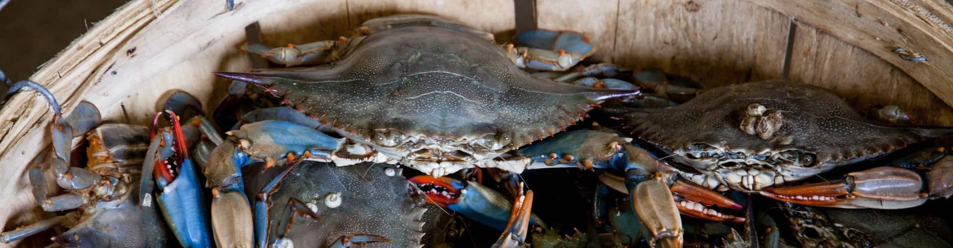Photo of crabs in a bushel basket.